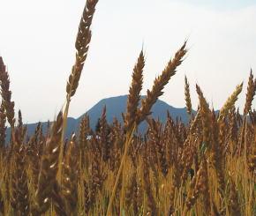 ▲ 今年の麦畑